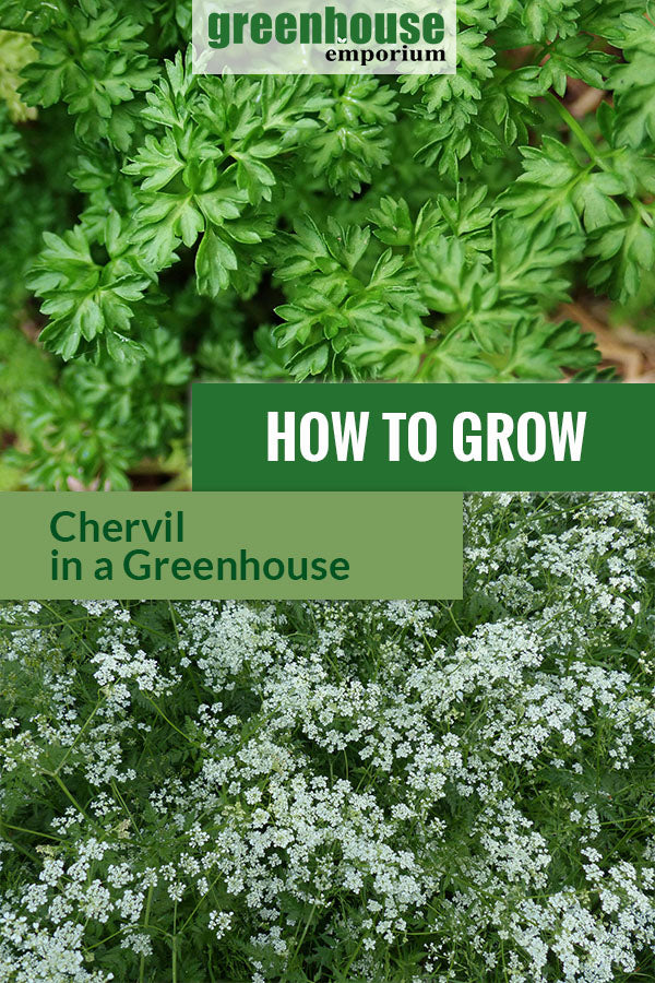 Chervils with dark green leaves and umbel looking flowers with the text: How to grow chervils in a greenhouse.
