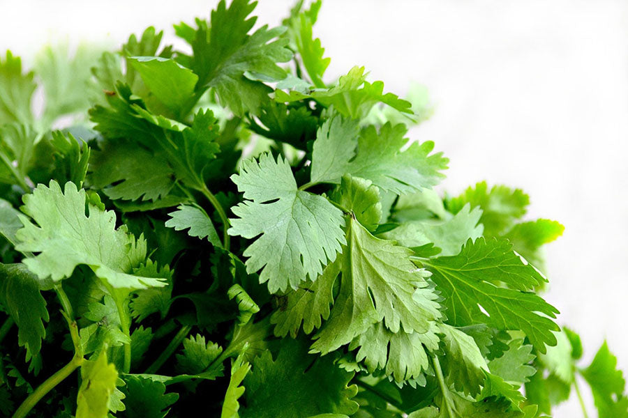 Lush green coriander ready to harvest