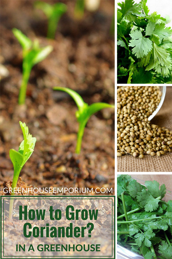 Coriander/Chinese Parsley growing in soil, green leaves of Cilantro, Coriander seeds with text: How to Grow Coriander in a greenhouse