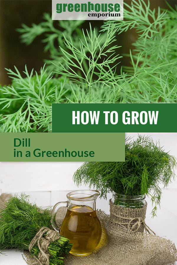 Dill with the text: How to grow dill in a greenhouse
