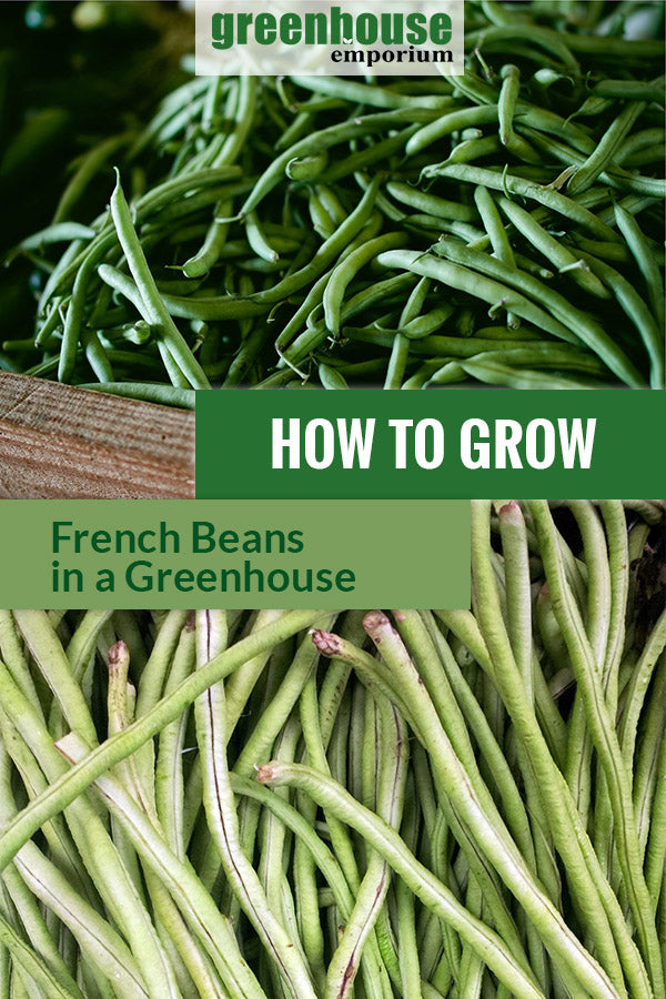 Harvested French beans with dark and light green colors with the text: How to grow French beans in a greenhouse.