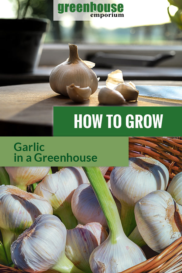 Garlic with the text: How to grow garlic in a greenhouse