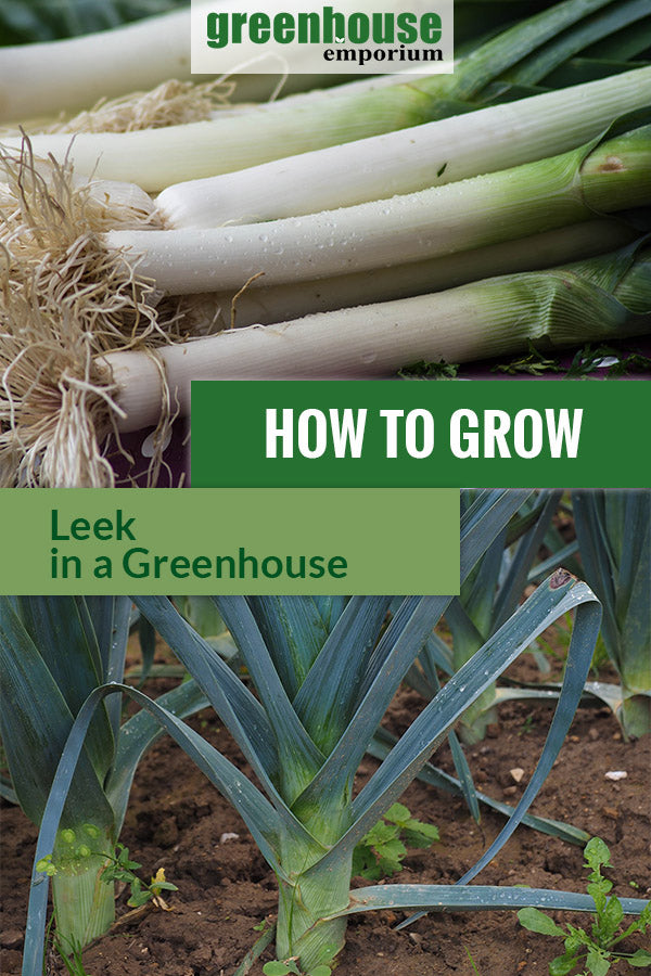 Nutritious leek stalks and leeks planted in the field with the text: How to grow leeks in a greenhouse.