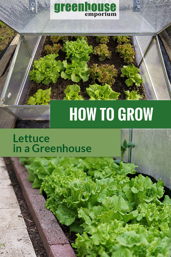 Images of lettuce growing in greenhouses with the text: How to grow lettuce in a Greenhouse