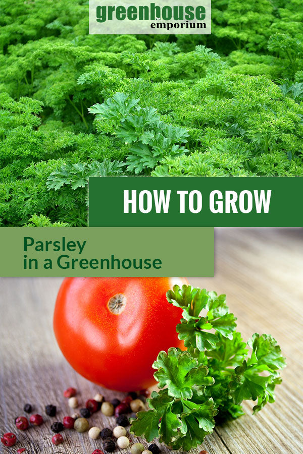 Parsley plant with the text: How to grow parsley in a greenhouse