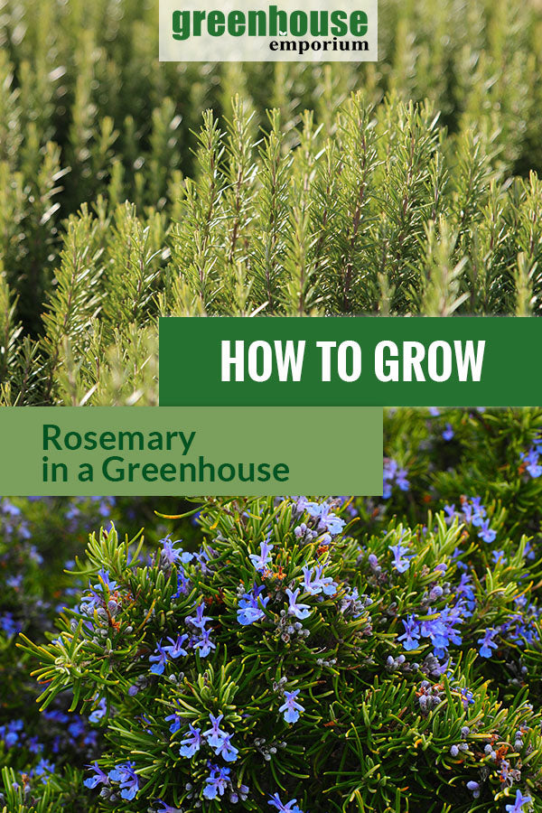 Rosemary plants with the text: How to grow rosemary in a greenhouse
