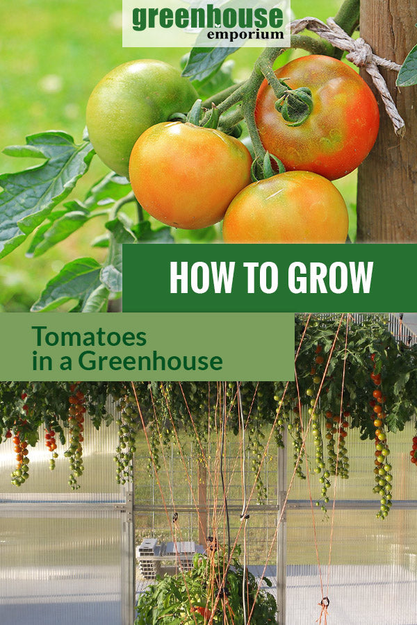Growing tomatoes inside a greenhouse with the text: How to grow tomatoes in a greenhouse.
