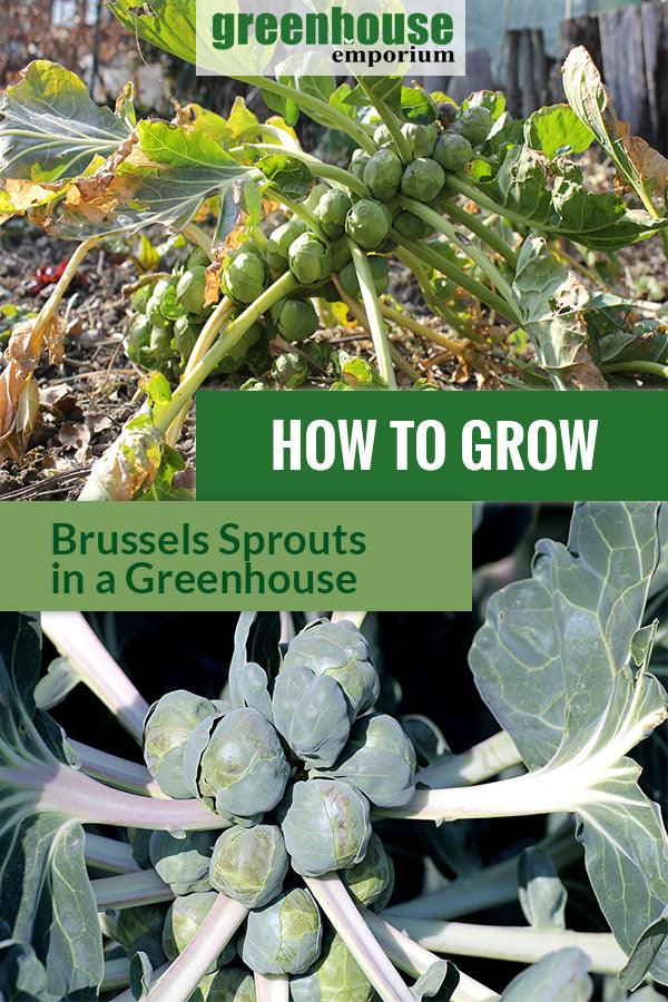 Ready to harvest Brussels sprouts with the text: How to grow Brussels sprouts in a greenhouse.