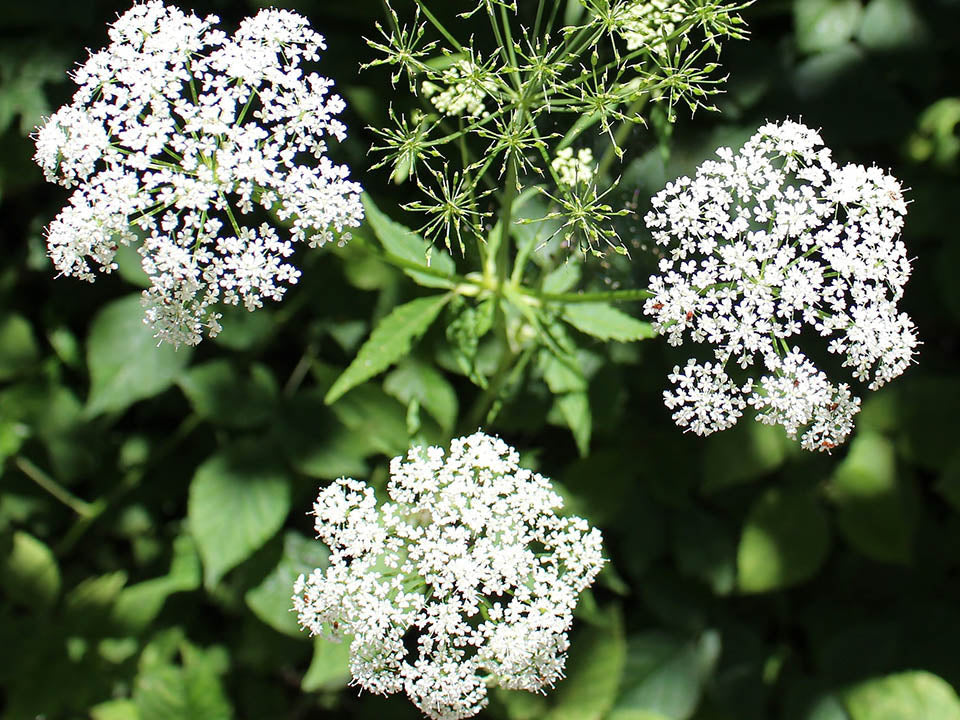 Blooming White Chervil Flowers