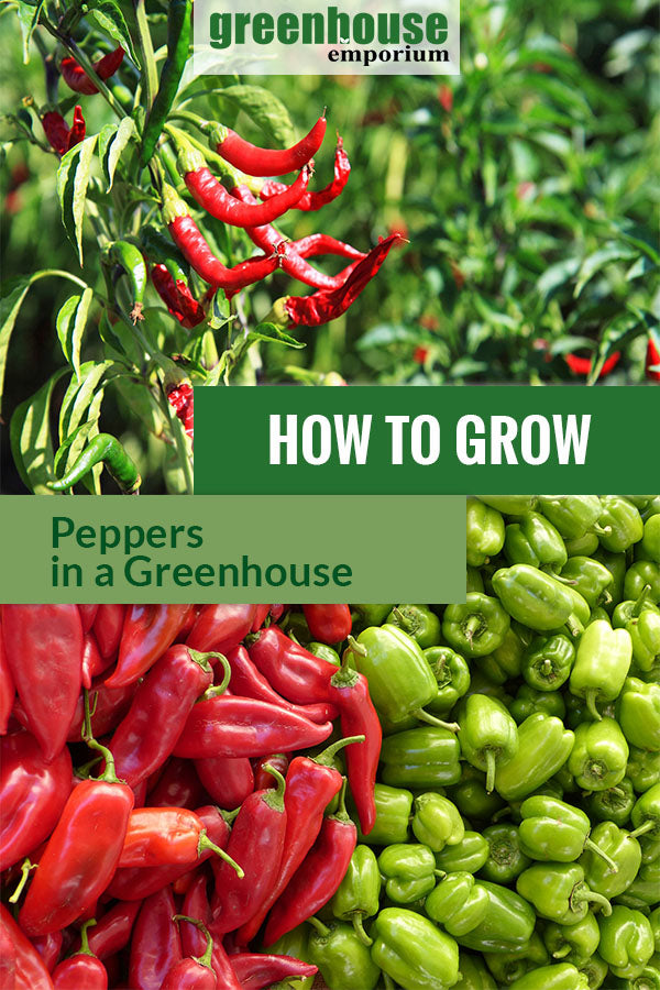 Paprika and red chili plant with the text: How to grow peppers in a greenhouse.