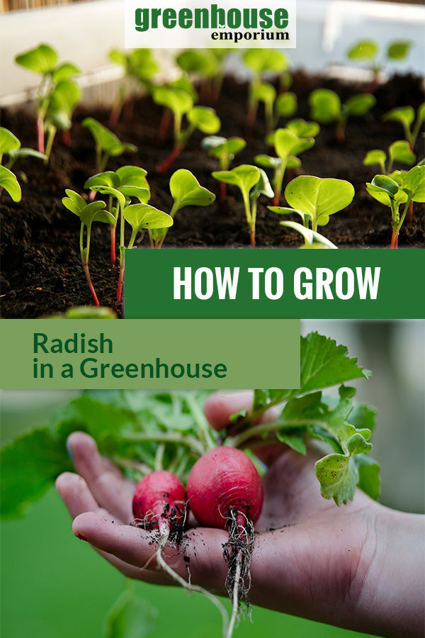 Radish sprouts and freshly picked radish with the text: How to grow radish in a greenhouse.