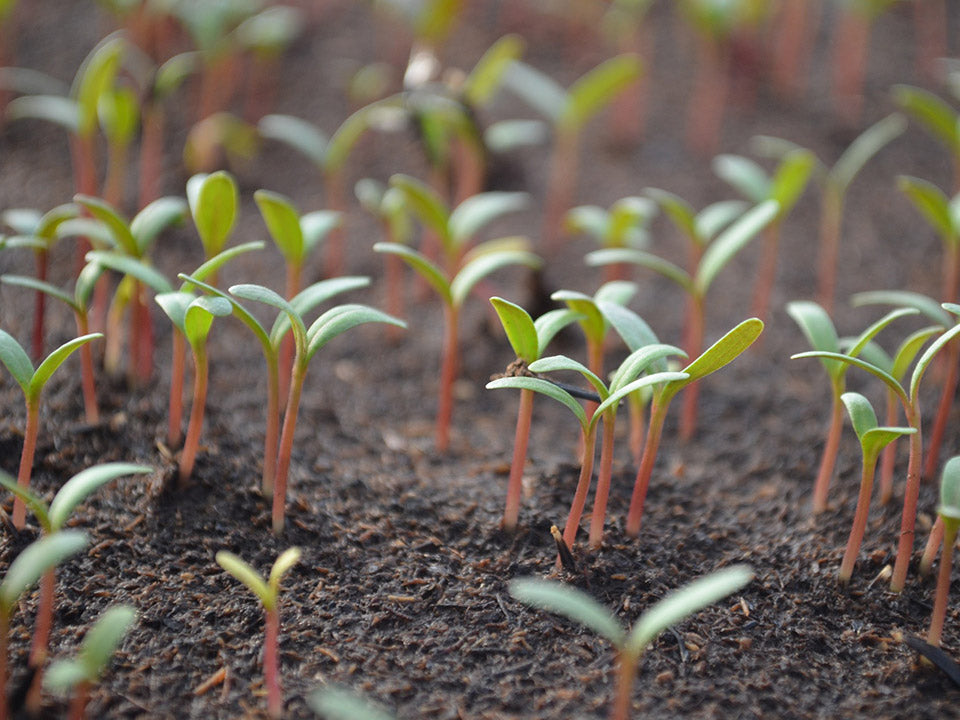 Tomato seedlings planted in a healthy soil