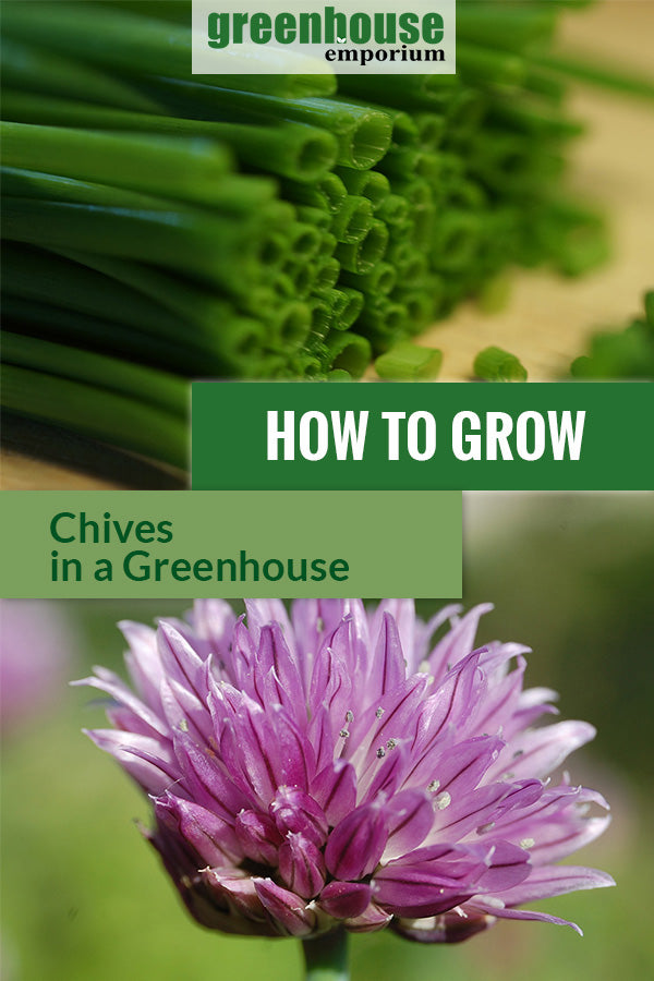 Chopped ready to cook chives and beautiful flowers with the text: How to grow chives in a greenhouse.