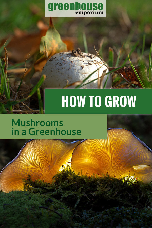 Above is a poisonous death cap mushroom. Below are two mushrooms with texts in the middle saying How to Grow Mushrooms in a Greenhouse