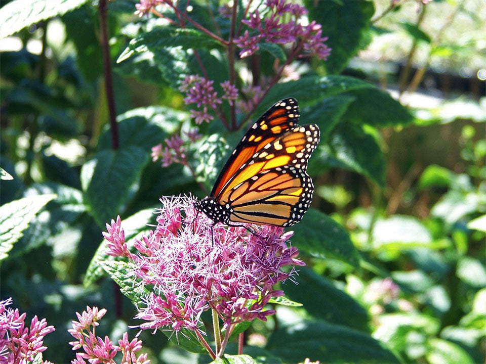 A monarch butterfly on a flower