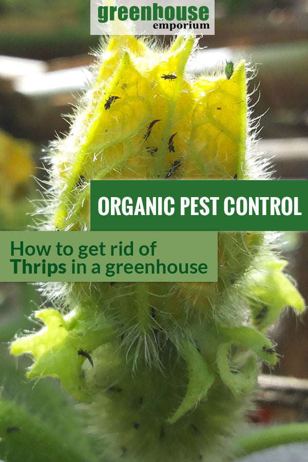 Thrips infestation shown in a plant. The text in the middle says, Organic Pest Control How to Get Rid of Thrips in a Greenhouse.