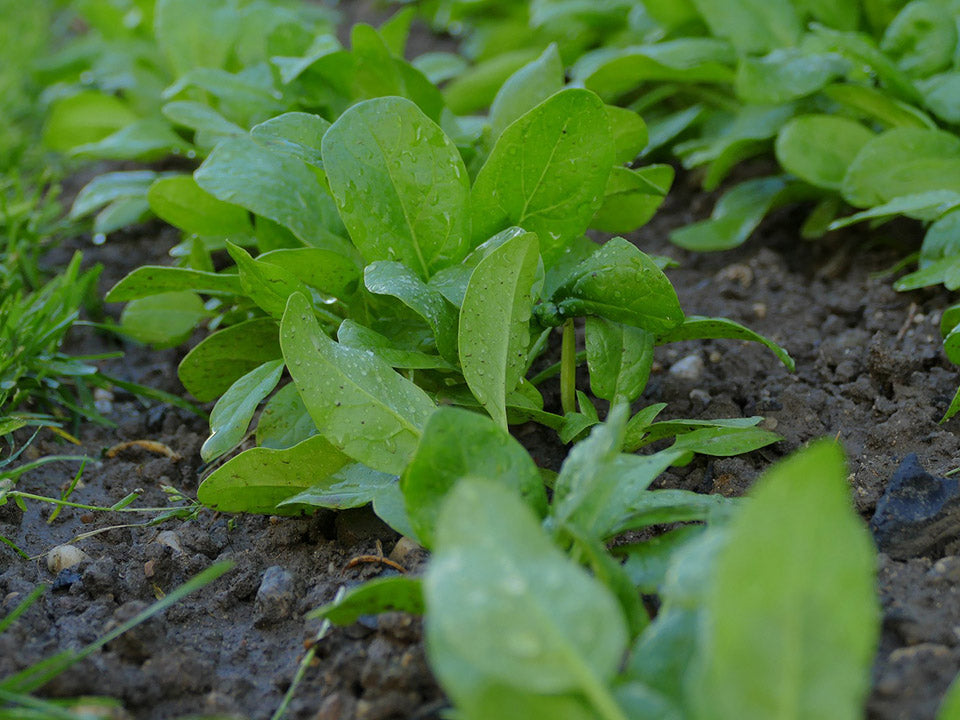 Planted spinach in a healthy soil