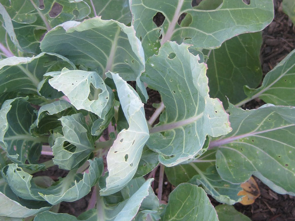 Brussels sprouts damaged leaves