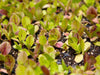 Image of RSI Hydroponic Floating Seeding Tray - with seedlings