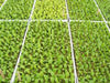 Image of A number of RSI Hydroponic Floating Seeding Trays with seedlings