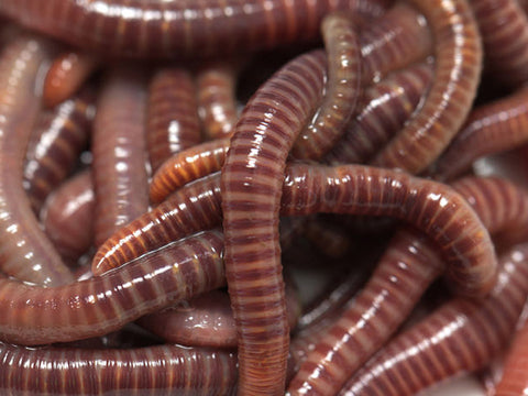 Red Wiggler Worms included in the MAZE Worm Farm Starter Kits
