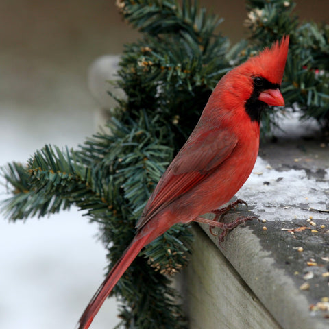 Northern Cardinal (Bird of Christmas)