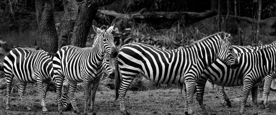 Zebras by Satish Kokate | Buy Posters, Frames, Canvas  & Digital Art Prints