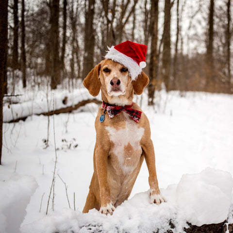 Dog in Snow in Santa Hat
