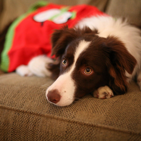 Dog on the Couch in Santa Dress