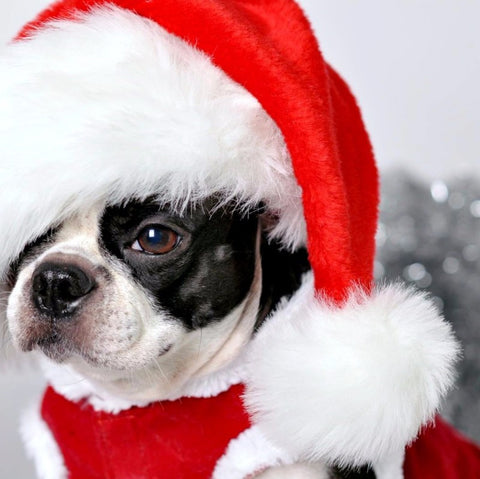 Pug in Santa Hat - Framed Prints