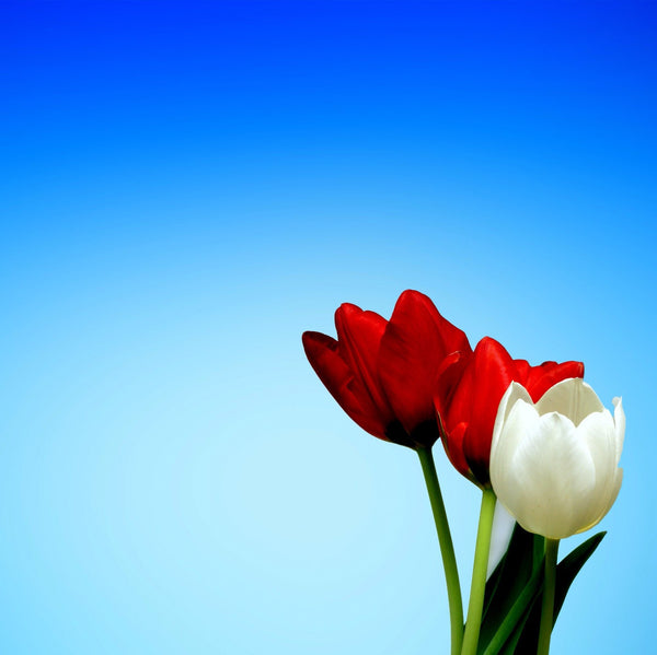 Red and White Tulips - Canvas Prints