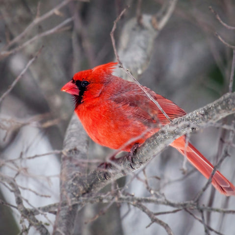 Northern Cardinal (Bird of Christmas) - Posters