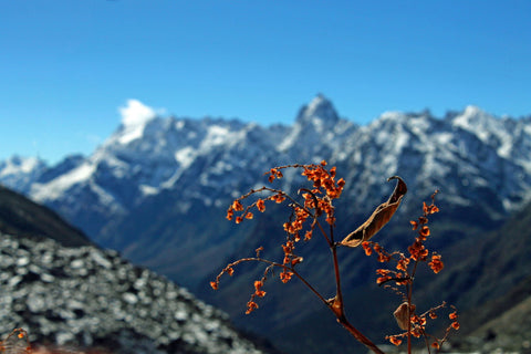 Orange Plant Against The Mighty Himalayas - Canvas Prints