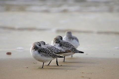 Sanderling - Art Prints