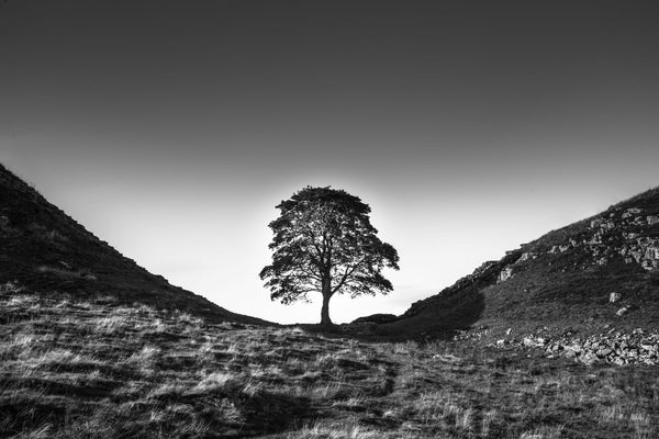 Sycamore Gap - Canvas Prints