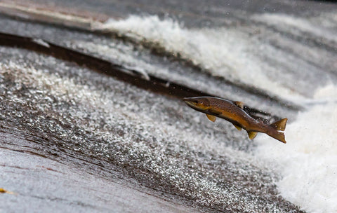 The Leaping Salmon by Danny Moore