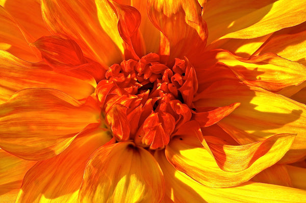 Orange Dahlia - Framed Prints