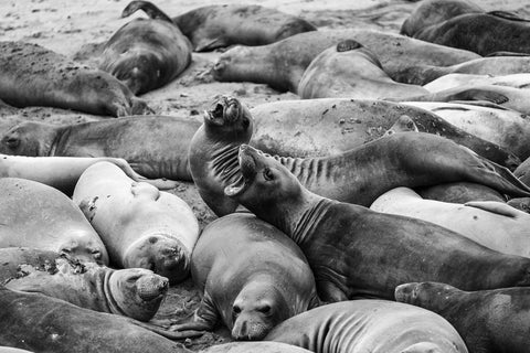 Elephant Seals - Posters by Martin Beecroft Photography