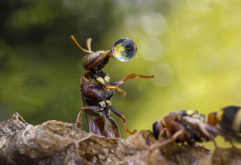 Wasp Blowing Water Droplet - Life Size Posters
