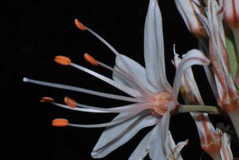 White Flower With Stamens