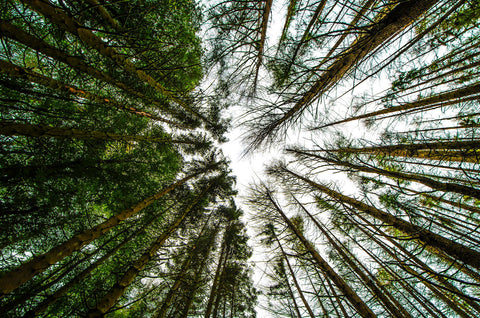 Pine Trees Perspective - Canvas Prints