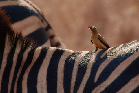 Red-Billed Oxpecker - Life Size Posters