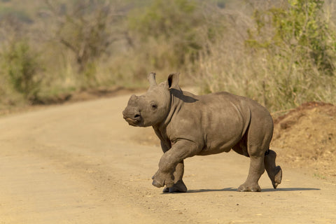 Rhino Calf In The Road - Canvas Prints