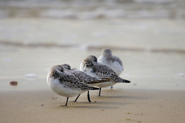 Sanderling - Canvas Prints