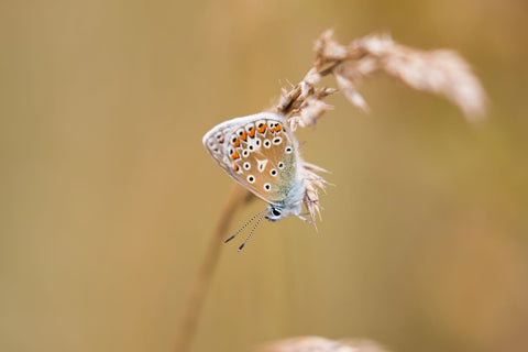 Common Blue Butterfly On Grass