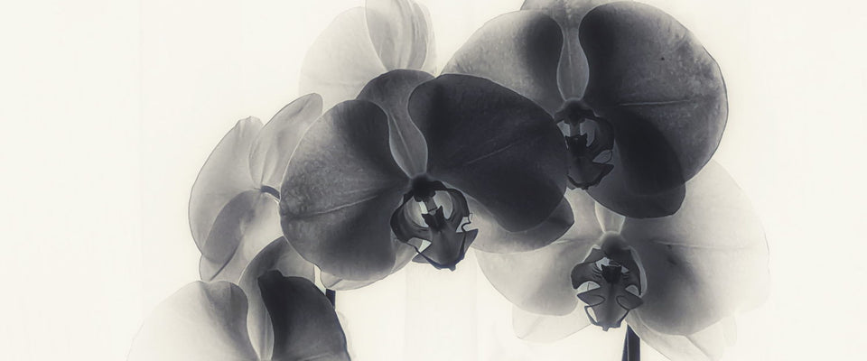 Black Orchid by Jill | Buy Posters, Frames, Canvas  & Digital Art Prints
