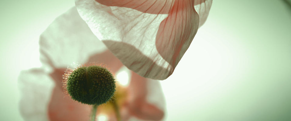 Coquelicot Love by AnneCecile Art | Buy Posters, Frames, Canvas  & Digital Art Prints