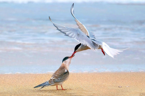 Arctic Tern - Canvas Prints