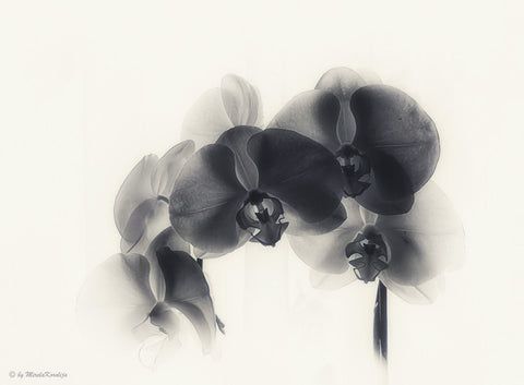 Black Orchid - Posters by Jill