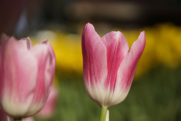 Pink Tulip - Framed Prints